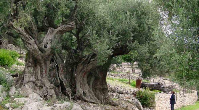 Contre les infections : l'olivier en décoction